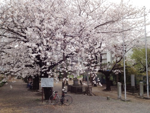 LOOK 566 under cherry blossoms blooming